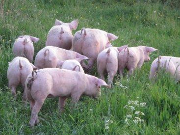 Weideschweine Goch